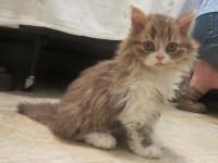 kitten-id--636